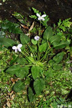 Viola nagasawai Makino & Hayata