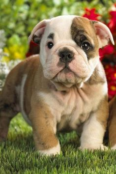 The major breeds of bulldogs are English bulldog, American bulldog, and French bulldog. The bulldog has a broad shoulder which matches with the head. Cute Baby Animals, Animals And Pets, Funny Animals, Cute Puppies, Cute Dogs, Dogs And Puppies, Doggies, Baby Puppies, Beautiful Dogs
