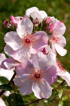 "Rosa ""Sweet Pretty"" - Rose"