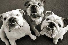 adorable english bulldogs