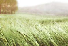 природа, поле, пшеница, деревья, макро, фото