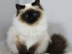 Persian Cat Himalayan Cat Is A Populer Cat And Kittens In Us Black