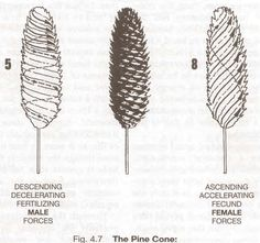 """The symmetry of the pine cone demonstrates the condition of """"Balanced Imbalance"""" which arises out of the harmonic interaction of two antithetical, complementary, but oppositely charged forces. The 5 positive male spirals of energy descend towards the 8 rising negative female spirals of energy. Where these cross each other a union of both forces occurs and there the seed of the new life is to be found. The male female forces...  arrive at a mutual state of…"""
