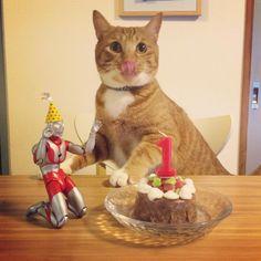 コマ、本日1歳になりました (拾い子なので推定の誕生日です)  猫缶ケーキでお祝いの図を撮ろうとしたらなかなかじっとしてくれなかった主役のひと。  #猫 #茶トラ #cat