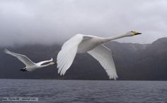 The national bid of Finland is Whooper Swan. Whooper were once nesting in much of North America, but quickly disappeared as civilization advanced westward; Swan Pictures, Trumpeter Swan, Swan Song, Aquatic Plants, Birds Eye View, Classical Music, Beautiful Birds, Finland, Habitats