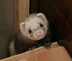 Sweet Little Ferret Animals And Pets, Baby Animals, Cute Animals, Cute Photos, Cute Pictures, Funny Ferrets, Pet Ferret, Funny Animal Memes, Puppies