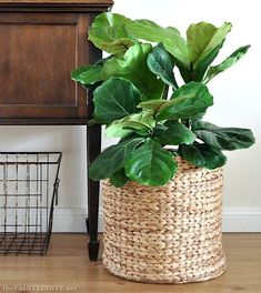 flora small indoor plants best indoor plants fiddle leaf fig plant How To Choose Curtains Or Blinds Plants Indoor Design, Amazing Gardens, Indoor Design, Indoor Planters, Trendy Plants, Cool Plants, Small Indoor Plants, Room With Plants, Fiddle Leaf