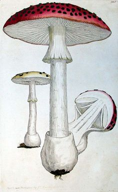 Agaricus Muscarius, James Sowerby, Coloured figures of English fungi or mushrooms, London, 1797-1803