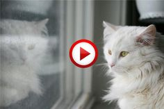 White Crazy Cat And Mirror Video #animals, #ctas, #videos, https://facebook.com/apps/application.php?id=106186096099420