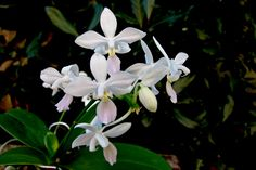 Moth-Orchid: Phalaenopsis equestris fma.alba