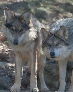Mexican Wolf pups.