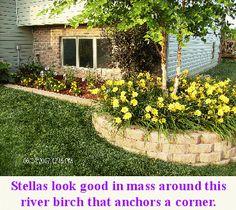 Reblooming Daylilies