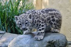 Beautiful baby snow leopard eight weeks old