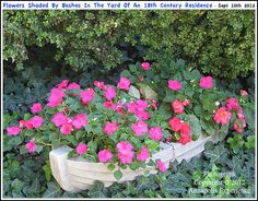 A planter full of flowers on a bed of ivy in the yard of a historic mid 18th century Annapolis Maryland residence. Photograph taken on September 10th 2012. To see a full size version of this photograph, as well as the accompanying Annapolis Experience Blog article, please click through on the Pinterest images for it. Copyright © 2012 Annapolis Experience