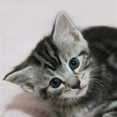 Remembering us in your will, Silver Grey Cats - Thevbsc grey tabby kitten for sale - Kittens Tabby Kittens For Sale, Grey Tabby Kittens, Kitten For Sale, Grey Cats, Silver Tabby Kitten, Grey Kitten, Adoption, Cute, Animals