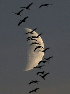 Birds/ducks/geese flying in the sky before a beautiful moon. Beautiful Moon, Beautiful Birds, Beautiful World, Beautiful Things, Sun Moon, Stars And Moon, Shoot The Moon, Pics Of The Moon, Full Moon Pictures