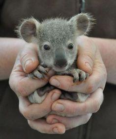 Baby Koala. yes please!