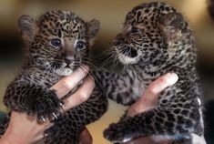 Baby leopards just need to stop it with all the cuteness. You're killing me with this, baby Java leopards…KILLING ME. Meet Arjuna and Sri Kandi, two of the newest additions to the Tierpark Zoo in Germany.