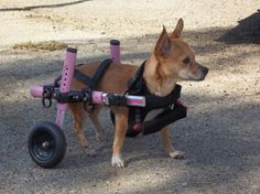 Juli's FIrst Time in Walkin' Wheels Dog Wheelchair Pink Wheels, Hot Wheels, Dog Wheelchair, Mini Dogs, Love Is Sweet, Small Dogs, Dachshund, Bunny, Creatures