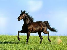 Since the age of five, horse riding has been one of my great passions and horses are one of my favourite animals; I wanted to share some of the most beautiful horses I have ever seen. Tier Wallpaper, Horse Wallpaper, Animal Wallpaper, Andalusian Horse, Thoroughbred Horse, Arabian Horses, Horse Galloping, Horse Horse, Horse Saddles