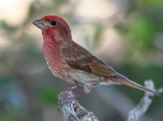 Sweet purple finches always come back home to my feeder. Look for the raspberry color -they aren't really purple!