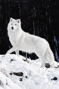 Artic wolf in snow via k2wolf.