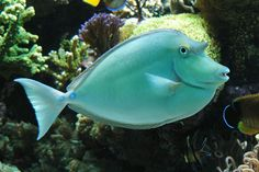 The Unicorn Tang is one of the largest of the available surgeonfishes with adult specimens reaching almost 24 inches cm) in size. The Unicorn Tang will need Saltwater Tank, Saltwater Aquarium, Aquarium Fish, Aquarium Setup, Freshwater Aquarium, Marine Aquarium, Marine Fish, Salt Water Fish, Salt And Water