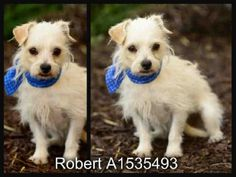 Meet ROBERT, a Petfinder adoptable Chihuahua Dog | San Pedro, CA | Petfinder.com is the world's largest database of adoptable pets and pet care information....