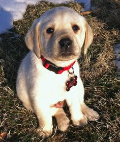 Sullivan the Labrador Retriever