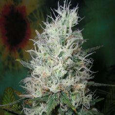 smokethesativa:  pineconeherb:  Britisch...