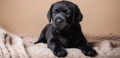 Puppy zones and barriers - The Labrador Site