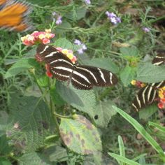 Zebra Longwing on Lantana