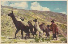 PERU - Llamas in Peruvian Highlands / vintage postcard