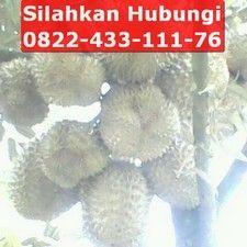 jual bibit durian bawor asli