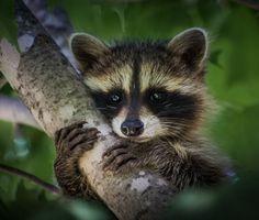 creatures-alive: Young Raccoon by David Hook Rocky Raccoon, Pet Raccoon, Cute Baby Animals, Animals And Pets, Strange Animals, Tier Fotos, Jolie Photo, Woodland Creatures, Cute Animal Pictures