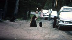 (8mm Vintage) 1968 People Feeding Bears Roadside in Yellowstone Park. http://www.pond5.com/stock-footage/51373409?ref=StockFilm keywords:1968, feeding, bears, roadside, wildlife, yellowstone, park, 1960s, danger, road, black bear, 8mm, footage, film, home video, home movie, homemade, retro, vintage, classic, old, reel to reel, 16mm, projector, super 8, amateur, grainy, archive, nostalgia, memories, restore, preserve, romance, cinematography, golden age, Americana, political, advertisement…