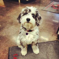 Skye, a six month old Aussiedoodle, pictured here during a visit the Global Pet Foods stores in Unionville, Ontario, is a real sweetheart!  ~ March 19, 2014