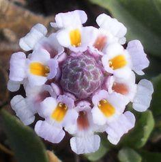 Common Lippia - Tiny white flower - macro photo