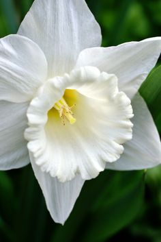 Narcissus 'Mount Hood' - by HIRO.- need to plant a swath of these in the ground/garden Spring Flowering Bulbs, Spring Blooms, Spring Flowers, White Flowers, Beautiful Flowers, Mount Hood, Alpine Plants, Macro Flower, Spring Landscape