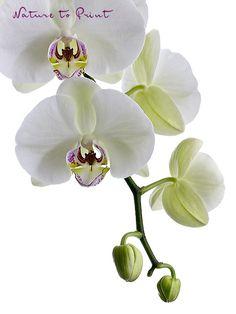 Kunstdruck oder Leinwandbild:  Orchideen weiße Phalaenopsis freigestellt auf Weiß
