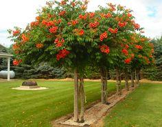 Trumpet Vine tree. I LOVE this idea!!