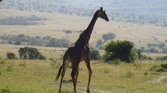 ¿Un viaje inolvidable, una luna de miel perfecta… por qué no a Kenia? Imagínate disfrutar de tu viaje de novios, haciendo un safari por la sabana… descubre parques nacionales como el Masai Mara o el Serengueti. #ocitrip