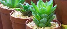 Resultado de imagem para plantas suculentas