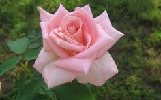 pink roses - Google Search