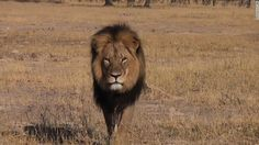 I'll be blunt: I AM FUCKING PISSED. GODDAMMIT, I AM REALLY FUCKING PISSED. THIS BOILS MY BLOOD. As many as three unknown hunters, one of them supposedly a Spaniard, paid $55,000 to lure and kill one of the Africa's most famous lions, Cecil. His head was cut off as a trophy and his skin was removed as well. Cecil the lion is survived by about six lionesses with whom he mated regularly and approximately 24 cubs. FUCK THOSE MOTHERFUCKING MONSTERS. I HOPE THEY ROT IN HELL.