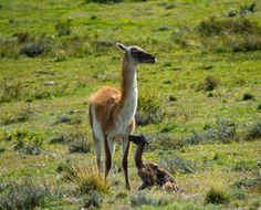 Baby Guanaco 20 minutes after Birth. Shot by @timothydhalleine on a Wildlife Safari in Torres del Paine NP  #WeLiveToExplore #Outdooradventuremode #SouthAmerica #splendid_earth #wildernessculture #earthfocus #nakedplanet #earthporn #outdoortones #lifeofadventure #nature #photography #wild #Travel #Traveltheworld #Traveldaily #Chile #Chilegram #Outdoors #Mountains #Wildlife