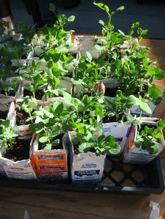Healthy, environmental fundraiser: Heirloom peas for sale to raise money for the school garden.  The kids all planted peas in used juice and milk cartons and sold them to raise money for their garden.  It was a huge success.  Next up, fava bean seedlings.