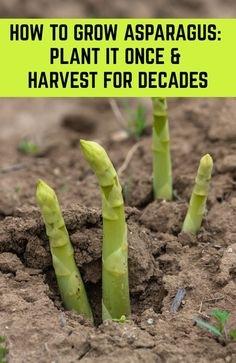 How To Grow Asparagus: Plant It Once & Harvest For Decades - Pflanzideen Veg Garden, Fruit Garden, Lawn And Garden, Garden Plants, Veggie Gardens, Easy Garden, Garden Art, Shade Garden, Outdoor Gardens