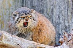13 Reasons Pallas' Cats Are Just Misunderstood Teenagers Small Wild Cats, Big Cats, Angry Animals, Cute Animals, Lynx, Felis Manul, Wild Cat Species, Pallas's Cat, F2 Savannah Cat