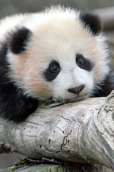 "Panda bear cub  looks like the ""Telus"" panda ad"